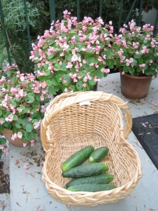 organically grown cucumbers