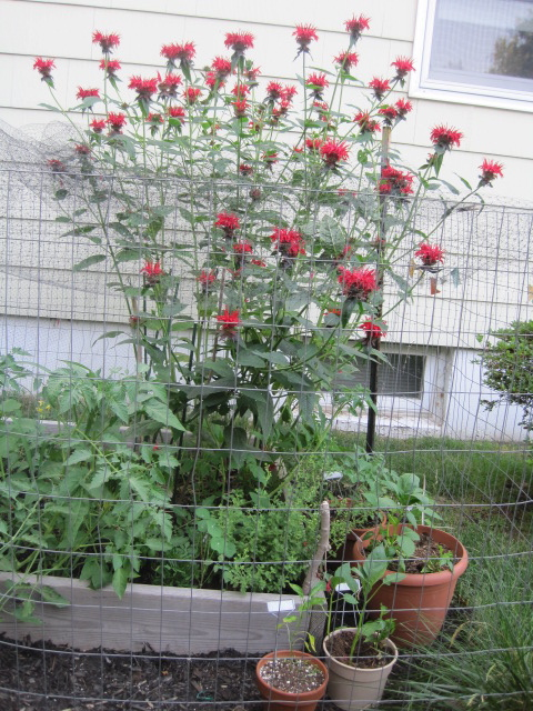 Monarda (folkname: Bee balm) is a companion to tomatoes.  Easily transplanted, I got mine from my brother-in-law, Mike, three years ago.  Now it's in three places in my yard.